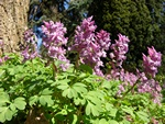 Vingerhelmbloem (Corydalis solida)